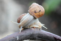 耳蜗的恋人 免版税库存图片