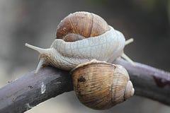 耳蜗的恋人 库存图片