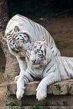 耳语夫妇的老虎白色 免版税库存照片
