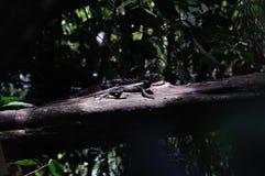 耶稣基督蜥蜴在哥斯达黎加 免版税图库摄影