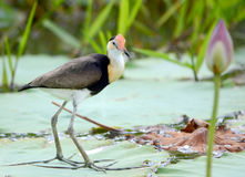 耶稣鸟- Irediparra gallinacea 免版税库存图片