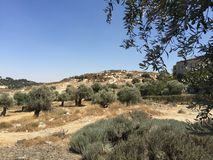 耶路撒冷橄榄树 库存图片