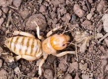 耶路撒冷蟋蟀是一个小组t大,不能飞行的昆虫  免版税库存图片