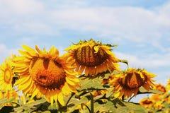耷拉向日葵在天空的 免版税库存照片