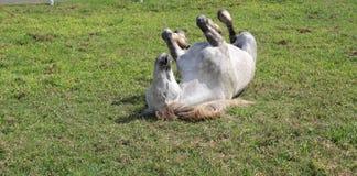 耽溺于在草的白马 库存照片