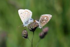 联接共同的蓝色的蝴蝶- Polyommatus艾卡罗计 库存照片