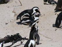 联接在一个沙滩的非洲企鹅在开普敦附近 免版税图库摄影