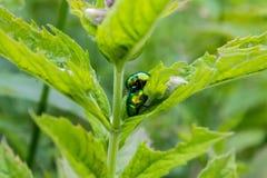 联接在叶子的甲虫 库存照片