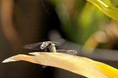 联接在叶子的男性和母蓝色Dasher漏杓蜻蜓 免版税库存照片