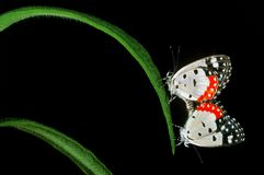 联接在叶子的蝴蝶 库存图片