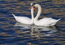 联接在春天的白色天鹅夫妇 免版税库存照片