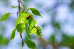 联接在桦树的绿色叶子的两只瓢虫甲虫分支 免版税库存照片