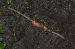 联接在泥泞的地面的蚯蚓 库存图片