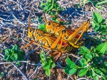 联接在腐土的两只蚂蚱 免版税图库摄影