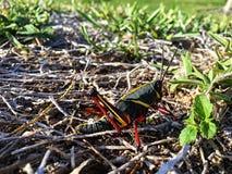 联接在腐土的两只蚂蚱 库存照片