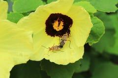 联接在花的两只甲虫 免版税库存照片