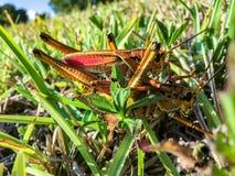 联接在草的两只蚂蚱 免版税库存照片