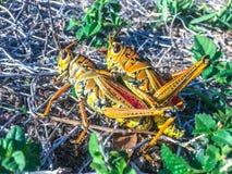 联接在草的两只蚂蚱 图库摄影