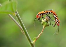 联接在草的昆虫 免版税库存图片