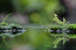 联接在草的昆虫 免版税库存照片