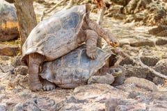 联接在达尔文驻地,加拉帕戈斯的巨型草龟 库存照片