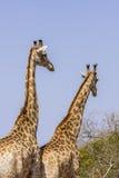 联接在kruger公园的长颈鹿 免版税图库摄影