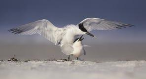联接的三明治燕鸥(Thalasseus sandvicensis)在佛罗里达海滩 图库摄影