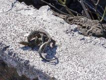 联接的加拉帕戈斯熔岩蜥蜴, Microlophus albemarlensis,是地方性的到加拉帕戈斯群岛 圣克鲁斯,加拉帕戈斯,厄瓜多尔 免版税库存图片