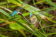 联接的对天蓝色的蜻蜓,一只美丽的蜻蜓 图库摄影