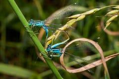 联接的对蓝色天蓝色的蜻蜓,蜻蜓 库存图片