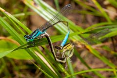 联接的对蓝色天蓝色的蜻蜓,蜻蜓 库存照片