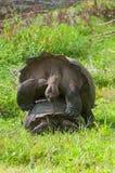 联接的巨型草龟 库存照片
