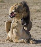 联接的狮子 免版税库存图片