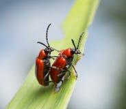 联接的猩红色百合甲虫, lilioceris,在百合叶子的lilii 图库摄影