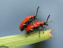 联接的猩红色百合甲虫, lilioceris,在百合叶子的lilii 免版税库存图片
