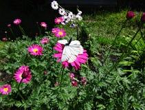 联接的白色蝴蝶 图库摄影