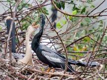 联接的美洲蛇鸟 免版税库存照片