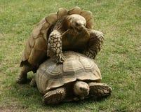 联接的草龟 库存图片