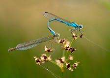联接的蜻蜓 免版税库存图片