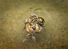 联接的蟾蜍球  免版税库存图片