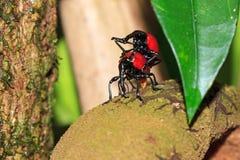 联接的象鼻虫马达加斯加 库存图片