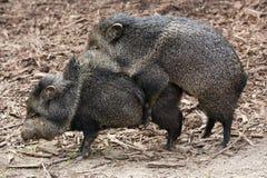 联接的野猪 免版税库存照片