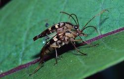 联接的镶边长角牛甲虫 库存图片
