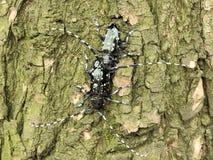 联接的长角牛甲虫 图库摄影