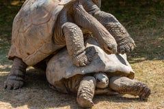 联接的阿尔达布拉环礁巨型草龟 免版税库存图片