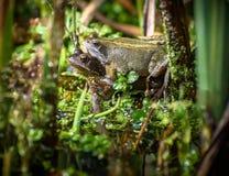 联接的青蛙 库存照片