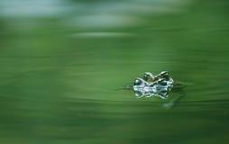 联接的青蛙 免版税图库摄影