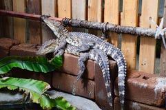 联接的鳄鱼在动物园里 免版税库存照片