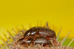 联接的黑色甲虫 库存照片