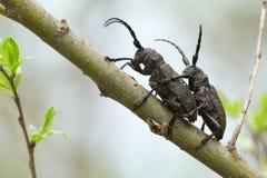 联接的织布工甲虫,在杨柳枝杈的女妖textor 免版税库存图片